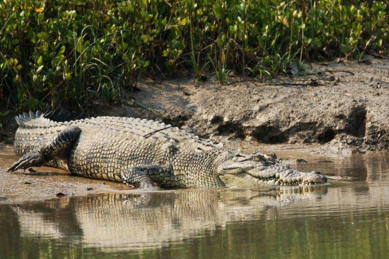 Crocodiles au parc national de Bhitarkanika